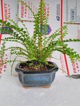 Jmbamboo - Lemon Button Fern Plant Bonsai Pot 4x4x2 for Better Growth - Clean... - ₨894.06 INR