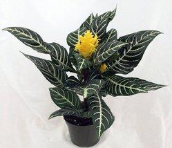 "jm bamboo-Zebra Plant - Aphelandra - Exotic & Unusual House Plant - 5"" Pot - ₨1,031.71 INR"