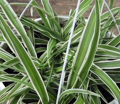 """Reverse Variegated Spider Plant - Easy to Grow - Cleans the Air - 4"""" Pot - ₨412.27 INR"""