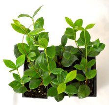 Confederate Jasmine - 6 Pack 3'' Pot From Jmbamboo - $16.99