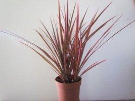 Dracaena Marginata Colorama - Tri-color Dragon Tree Houseplant From Jm B... - $266,79 MXN