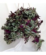 "Purple Wandering Jew - 6"" Hanging Pot - Easy to Grow House Plant - Inch ... - ₨894.74 INR"