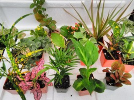Terrarium & Fairy Garden Plants - 8 Plants in 2.5 (Is Approximately 4 to 6 In... - ₨1,169.36 INR