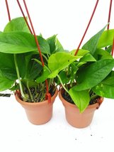 "Two Golden Devil's Ivy Pothos Epipremnum 4.5"" Hanging Pot - Very Easy to... - $19.00"