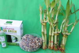 LUCKY BAMBOO SET DECORATION RIVER ROCK AND SUPER GREEN PLANT FOOD - £11.57 GBP