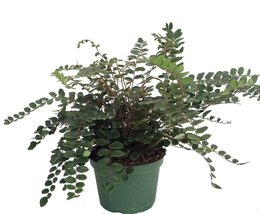 "Button Fern - Pellaea rotundifolia - Unusual House Plant - 6"" Pot - $19.99"