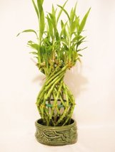 Live Large Pineapple Style Lucky Bamboo Plant Arrangement w/ Gree... - $26.99