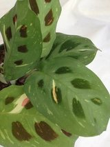 "1 Red and 1 Green Prayer Plant - Maranta - Easy to grow - 4"" Pot/unique-... - $13.00"