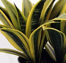 """'Gold Flame' Snake Plant - Sanseveria - Almost Impossible to kill - 6"""" P... - $343,26 MXN"""