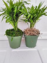 "jmbamboo-Two Large-Victorian Parlor Palm - Chamaedorea with moss 4"" Pot - £11.66 GBP"