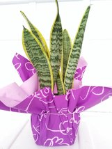 """Snake Plant, Gift Mother-in-law's Tongue Sansevieria 4"""" Pot Wrapped-unique Fr... - ₨1,031.71 INR"""