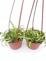 "*Two Bonnie Curly Spider Plant Easy Cleans the Air - 4"" Pot- Unique From... - $17.98"