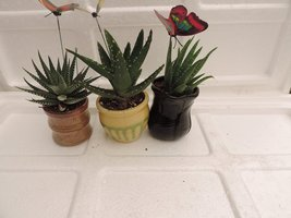 "jmbamboo-3 Different Aloe Plants - Easy to grow/Hard to Kill! - 3""cerami... - $17.99"