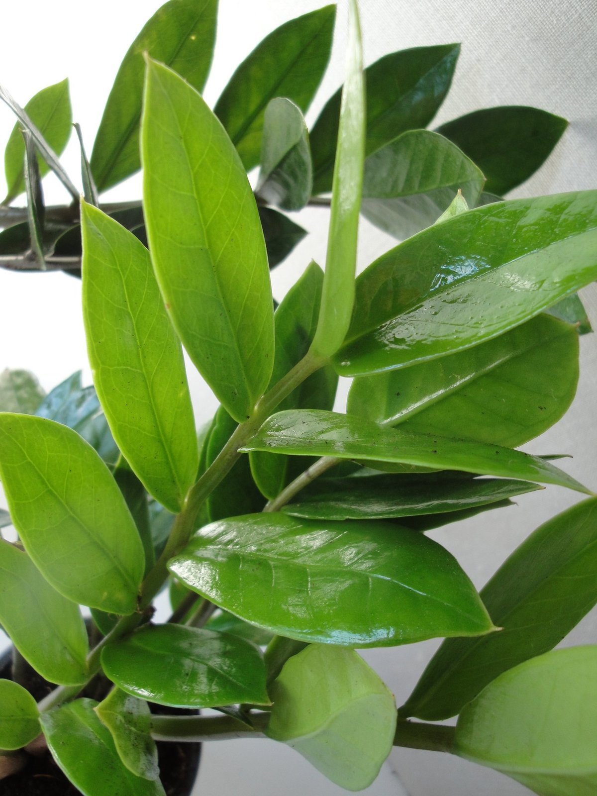 Two large zz plants zamioculcas zamiifolia a foot tall in for Plante zamioculcas