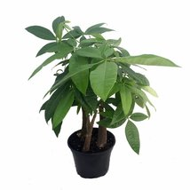 "Stylized Money Tree Plant - Pachira aquatica - 6"" Pot - Easy to Grow House Plant - ₨1,249.96 INR"