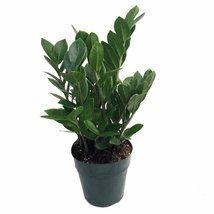 """Rare ZZ Plant - Zamioculcas zamiifolia - Hardy House Plant - 6"""" Pot - $14.50"""