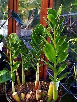 """Rare ZZ Plant - Zamioculcas zamiifolia - Hardy House Plant - 6"""" Pot"""