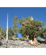 5 Pcs Seeds Great Basin Bristlecone Pine Pinus Longaeva Tree - DL - $16.00