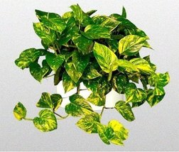 "Golden Devil's Ivy - Pothos - Epipremnum - 6"" Hanging Pot - Very Easy to... - $14.99"