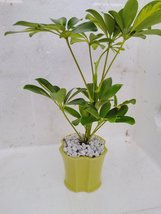 jmbamboo-Hawaiian Umbrella Schefflera Tree - Ceramic yellow color Pot an... - $14.00