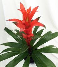 "Orange Jazz Blazing Star Vase Plant - 5"" Pot - Guzmania - Bromeliad - $16.99"