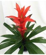 """Orange Jazz Blazing Star Vase Plant - 5"""" Pot - Guzmania - Bromeliad - ₨1,249.72 INR"""