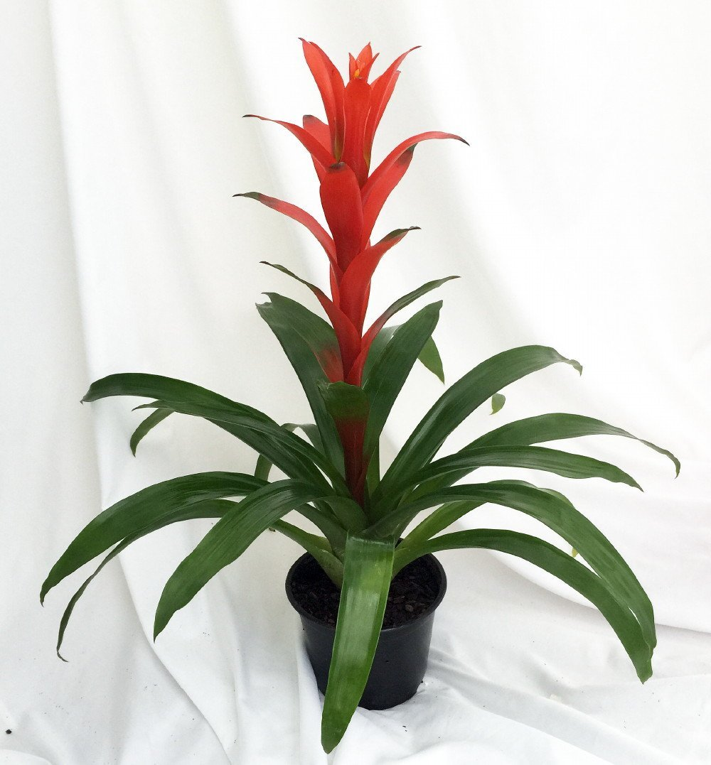 "Orange Jazz Blazing Star Vase Plant - 5"" Pot - Guzmania - Bromeliad"