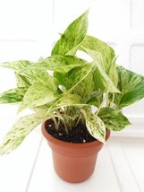 "'Marble Queen' Devil's Ivy - Pothos - Epipremnum - 4.5"" Unique Design Pot - E... - $8.99"
