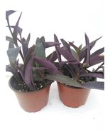"Two Purple Heart Plant Setcreasea Indoors or Out Easy 4"" Pot - ₨1,101.23 INR"