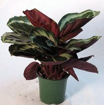 "Rose Painted Prayer Plant - Calathea - Easy - 6"" Pot  - $324,00 MXN"