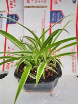 reverse Variegated Spider Plant - Bonsai Pot 4x4x2 for Better Growth... - $12.99