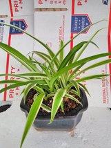 reverse Variegated Spider Plant - Bonsai Pot 4x4x2 for Better Growth... - $247,72 MXN
