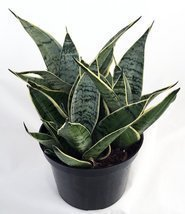 Jmbamboo - Starlite Snake Plant, Mother-in-law's Tongue - Sanseveria - 4... - £9.84 GBP
