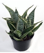 Jmbamboo - Starlite Snake Plant, Mother-in-law's Tongue - Sanseveria - 4... - £9.95 GBP