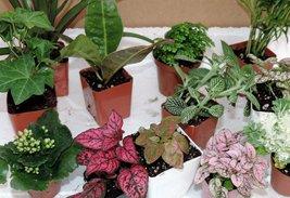 "Terrarium & Fairy Garden Plants - 10 Plants in 2.5"" pots - $457,68 MXN"