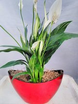 Peace Lily Spathiphyllum with Pot 9x5'' Inches 5'' Tall Indoor Air ... - $476,75 MXN