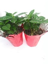 "Two Arabica Coffee Bean Plant - 3.5"" Pot with Decorative Pot Cover - $18.00"