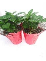 "Two Arabica Coffee Bean Plant - 3.5"" Pot with Decorative Pot Cover - $343,26 MXN"