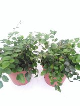 "*Two Button Fern - Pellaea - Easy to Grow 4"" Pot - $14.99"