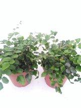 """*Two Button Fern - Pellaea - Easy to Grow 4"""" Pot - $285,86 MXN"""
