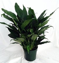 "Peace Lily Plant - Spathyphyllium - Great House Plant - 4"" Pot unique from jm... - ₨657.21 INR"