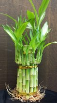 "2 Tier Lucky Bamboo - 6"" & 4"" Lucky Bamboos in 2 Tiers - Feng Shui-jmbamboo - £9.26 GBP"