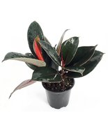 """Burgundy India Rubber Tree Plant - Ficus - An Old Favorite - 4"""" Pot - ₨639.94 INR"""