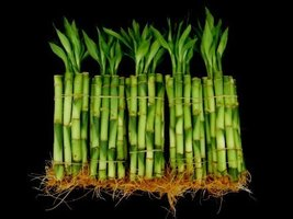 50 Stalks (5 Bundles) of 8 Inches Straight Lucky Bamboo Plants sold by J... - $27.99