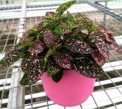 Fairy Garden Hypoestes Phyllostachya, Confetti, Polka Dot Plant - $200,43 MXN
