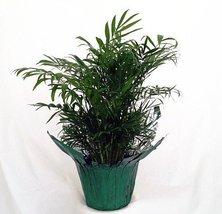 victorian Parlor Palm - Chamaedorea Elegans - Indestructable - £11.66 GBP