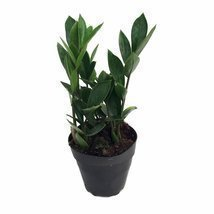 "Rare ZZ Plant-Zamioculcas zamiifolia - Easy to Grow House Plant - 4"" Pot - $10.99"