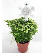 "Frosty Fern Spike Moss - Selaginella - Easy to Grow - 4"" Pot - ₨585.02 INR"