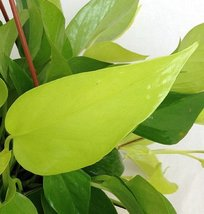 "Neon Devil's Ivy - Pothos - Epipremnum - 4"" Pot - Very Easy to Grow - $6.99"