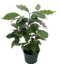 "Arabica Coffee Bean Plant - 6"" pot - Grow & Brew Your Own - ₨920.36 INR"
